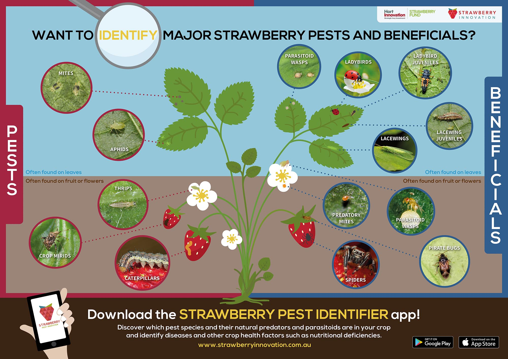 Want to identify major strawberry pests and beneficials? - RMCG